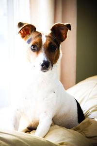 Fox Terrier Dog