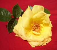 Gardener roses 2