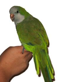 Quaker Parakeet