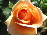 Sun + roses
