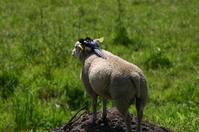 teasing a lamb