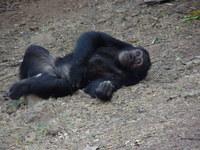 Chimp at Rest