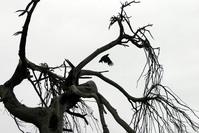 Flying raven, dead tree