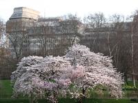Sakura tree 1