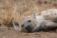 Hyena Parc Kruger 1