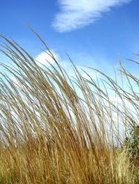 golden grass and sky