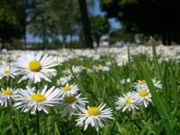 daisies again
