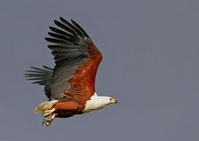 Fish Eagle Hunting 2
