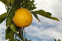 Oranges 3