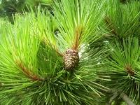 Japanese Pine Cone