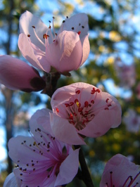 Blossoms 3