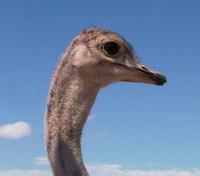 African Ostrich 2