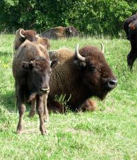 Buffalo Calf & Mama 2