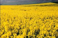 Canola fields of Walla Walla 3