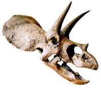 Torosaurus dinosaur skull