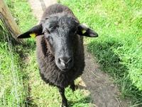 young black sheep