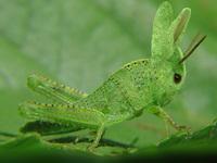 Cricket - Rabbit