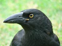 birds of australia 8