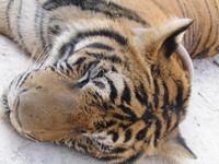 Thai tigers 2