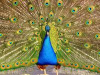 Kings peacock 1