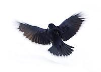 black raven 5
