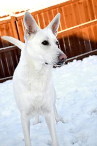 White Shepherd Snow Dog 3