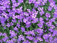 purplw flowers