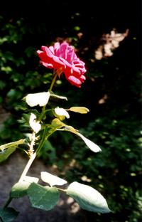 Hungarian Rose