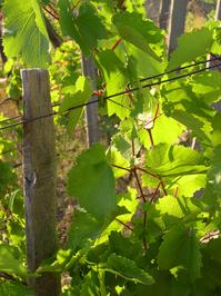 old vineyard 2