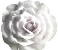 Rose on Rose 2
