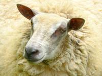 sheep and lambs 3