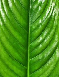 leaf texture21
