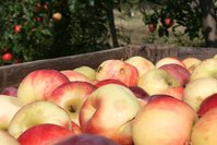 Apple crate 7