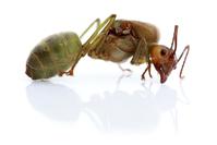 Ant on white free photos