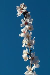 almond in blossom 5
