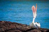Australian Pelican 1