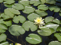 Lily pads and flowers in a pon
