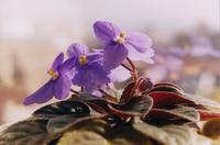 Violeta na janela