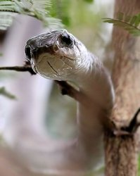 African Tree Snake (Boomslang)
