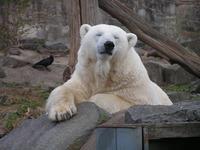 polor bear