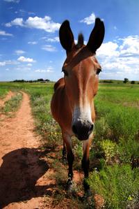 Skinny Mule