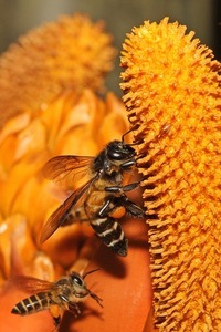 Wild Honey Bee(s) 1