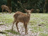 Look! Sakura on deer nose