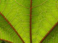 Sun trought leaf
