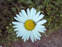 Flower - Chrysantemum leucanthemum