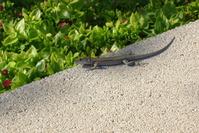 Tarragona's Lizard 1