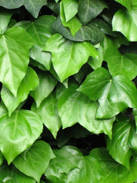 ivy, climbing plant... 2