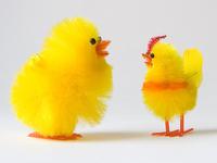 Conversation de poulet 2