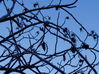 Thorns, ice and blue