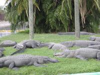 alligators 3